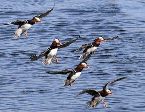 Flying Mandarin Duck Photo