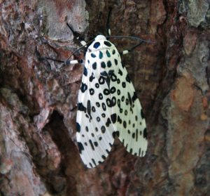 Photos of Giant Leopard Moth