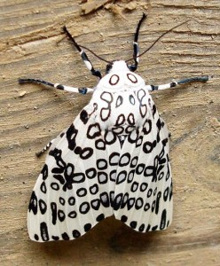 Pictures of Giant Leopard Moth