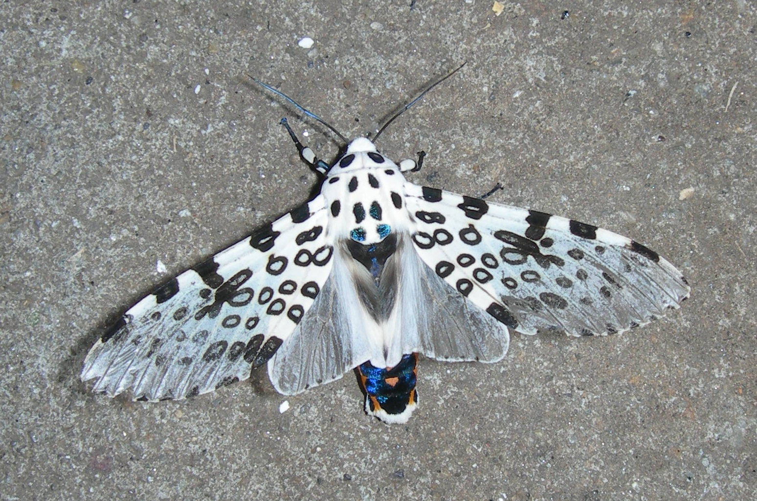 Giant Leopard Moth Facts And Pictures