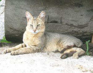 Jungle Cat Picture