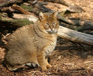 Images of Jungle Cat