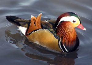 Mandarin Duck Picture