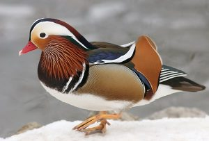 Images of Mandarin Duck