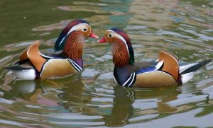Mandarin Duck Pair Picture
