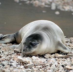 Images of Mediterranean Monk Seal