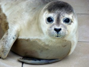 Photos of Mediterranean Monk Seal