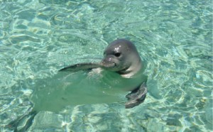 Pictures of Mediterranean Monk Seal