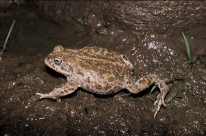 Images of Natterjack Toad