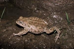 Images of Natterjack Toad