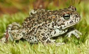Image result for natterjack toad