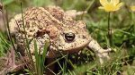 Pictures of Natterjack Toad