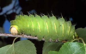 Polyphemus Moth Carterpillar Photo