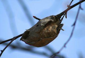 Polyphemus Moth Cocoon Image