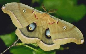 Images of Polyphemus Moth