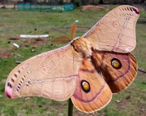 Pictures of Polyphemus Moth