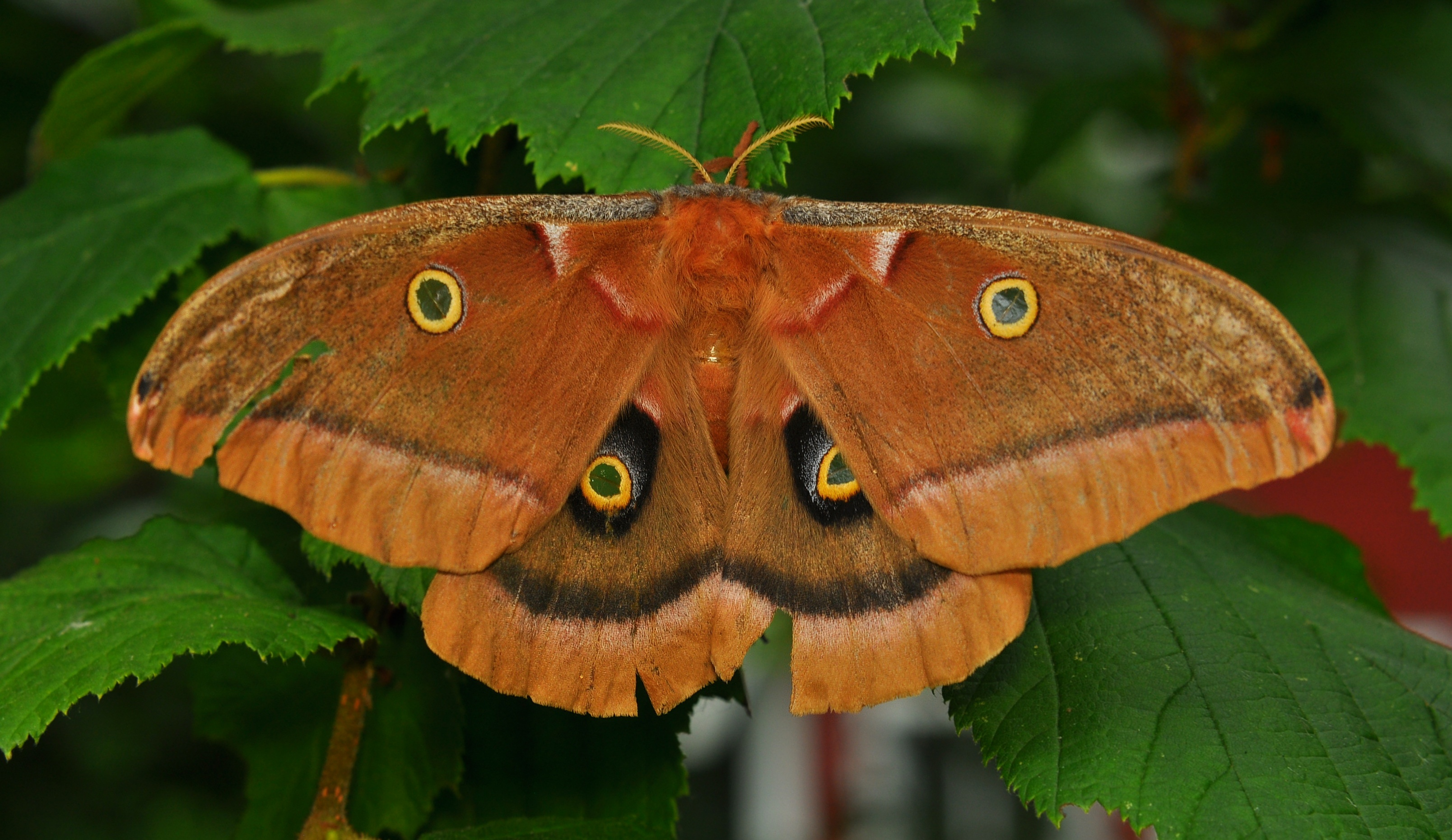 Polyphemus Moth (Antheraea polyphemus) - Facts and Pictures