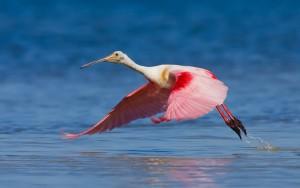 Roseate Spoonbill Flight Photo