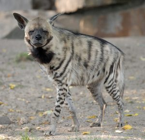 Striped Hyena Picture