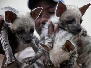 Striped Hyena Cubs Image