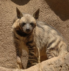 Photos of Striped Hyena