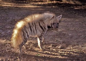 Pictures of Striped Hyena