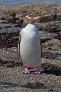 Yellow-Eyed Penguin Picture
