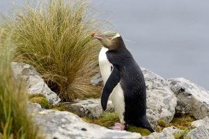 Images of Yellow-Eyed Penguin