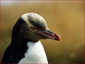 Photos of Yellow-Eyed Penguin