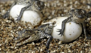 American Crocodile Eggs Photo