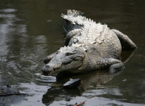 Images of American Crocodile