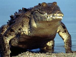 Pictures of American Crocodile