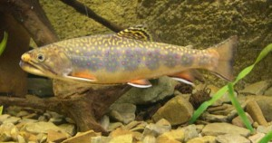 Photos of Brook Trout