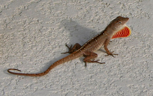 Brown Anole - Facts, Habitat and Pictures