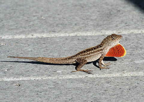 Pictures of Brown Anole