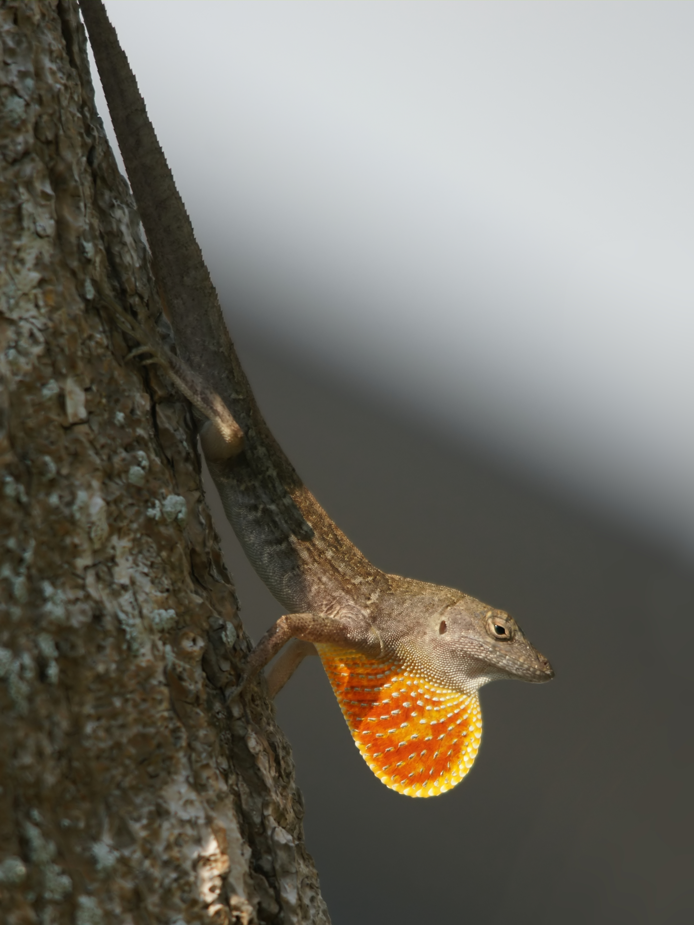 brown anole facts habitat and pictures