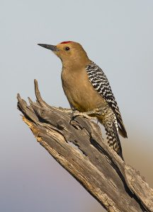 Gila Woodpecker Picture