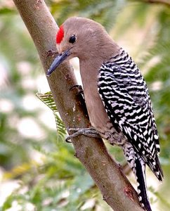 Images of Gila Woodpecker