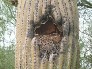 Gila Woodpecker Nest Photo