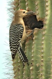 Photos of Gila Woodpecker