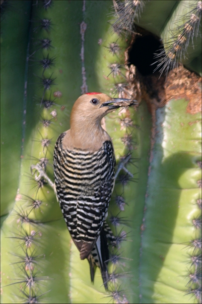 Gila Woodpecker Facts And Pictures