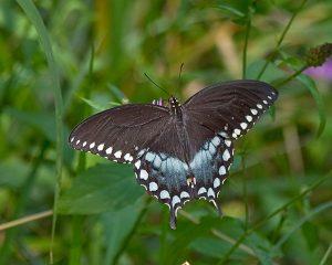 Spicebush Swallowtail Picture