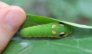Spicebush Swallowtail Caterpillar Image