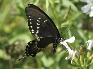 Photos of Spicebush Swallowtail