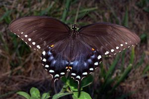 Pictures of Spicebush Swallowtail