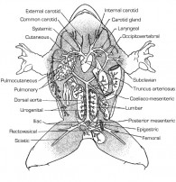 Photo of Amphibian Circulatory System