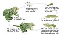 Amphibian Life Cycle Photo