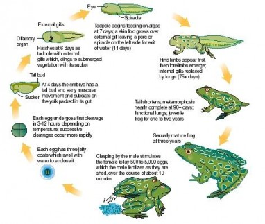 Amphibian Reproduction Picture