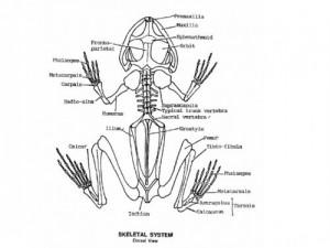 Amphibian Skeletal System Image