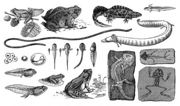 Picture of Amphibians Evolution
